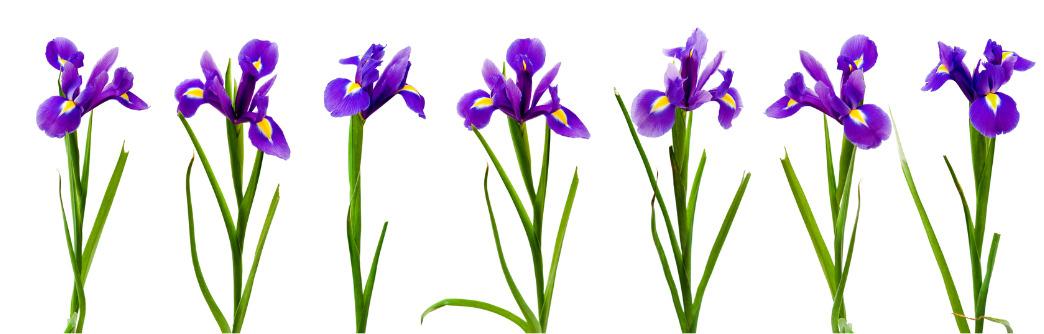 geboortemaand februari irissen
