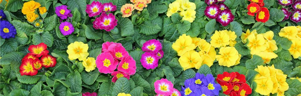 geboortemaand februari sleutelbloemen