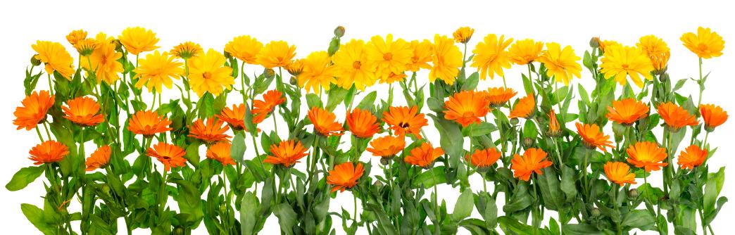 geboortemaand oktober goudsbloemen