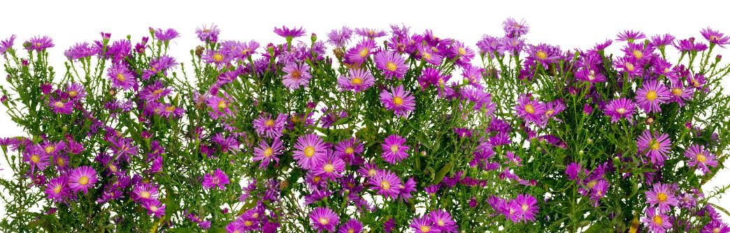 geboortemaand september asters